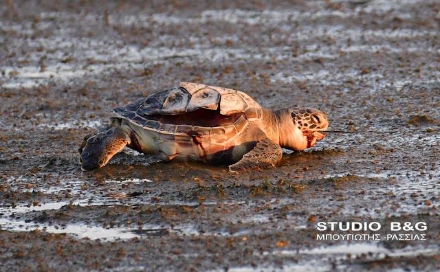 Θλίψη για ακόμα μια νεκρή θαλάσσια χελώνα στην Αργολίδα