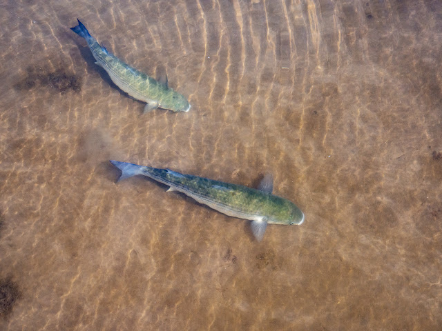 Photo of grey mullet in the shallow water at the marina