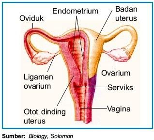 Struktur dan fungsi sistem reproduksi pada manusia terlengkap