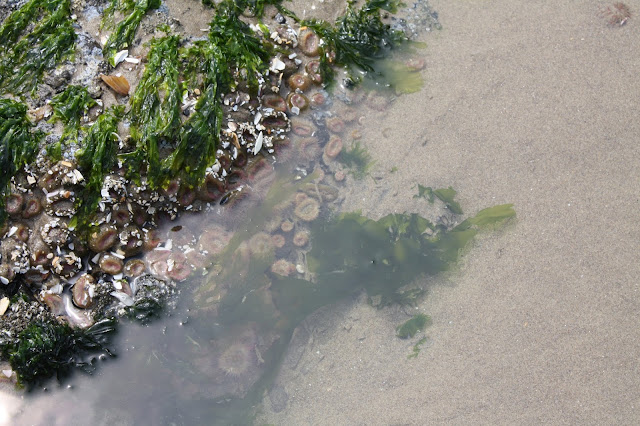 Sea anemones in a tide pool at Cannon Beach, Oregon.