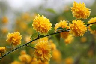 hoa hồng tầm xuân vàng