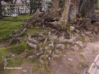 Knotty roots - Kenroku-en Garden, Kanazawa, Japan