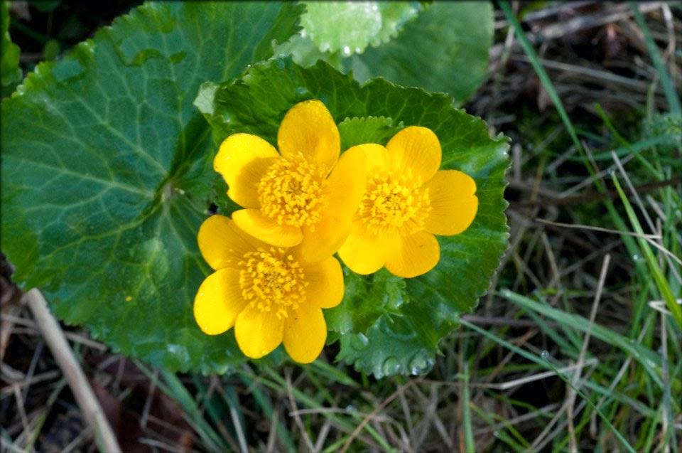 aff61d5083 Mocsári gólyahír (http://florafinder.com/)