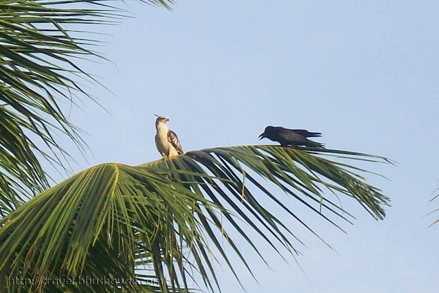 Crested Hawk Eagle Birding Chennai