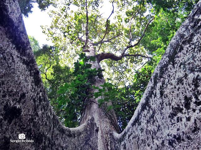 Perspectiva artística de uma Árvore Chichá-do-Cerrado do Parque Jardim da Luz - São Paulo