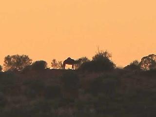 Wild Camel On Hill Uluru