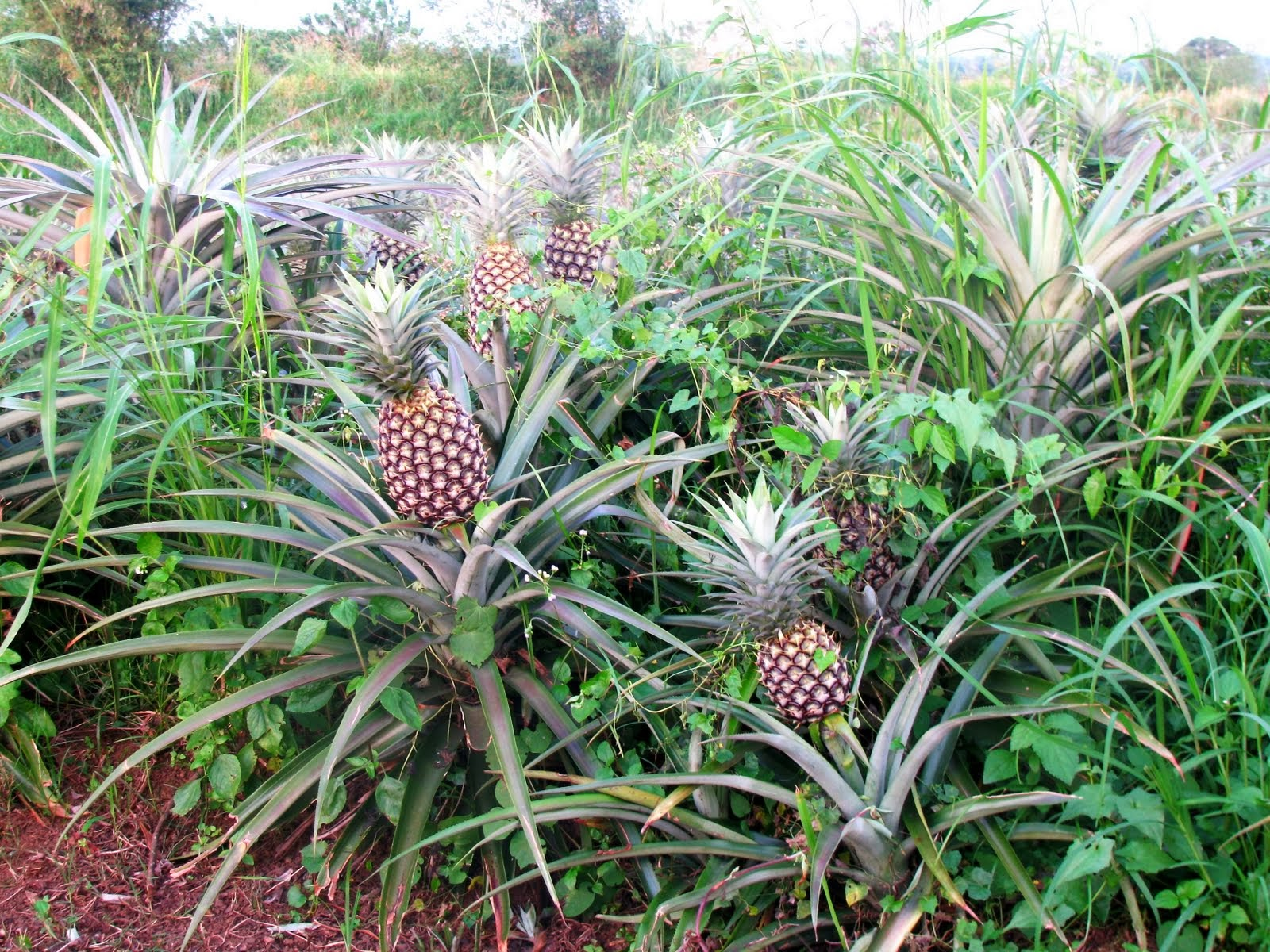 Growing A Pineapple In The Backyard