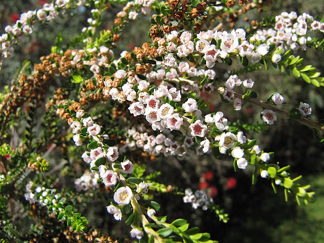 Thryptomene_saxicola-flowers.jpg
