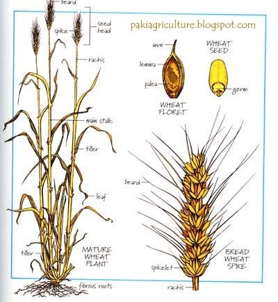 Intro to Wheat (Triticum aestivum L) Geics and