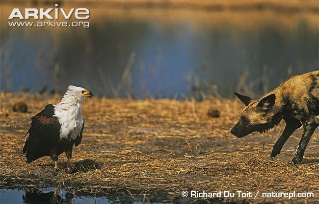 interactions between african wildlife african fish eagle