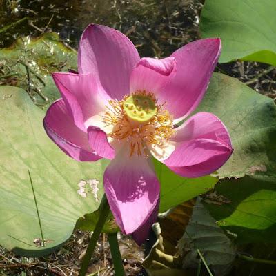 山田池公園のレンコン畑〔蓮の花〕