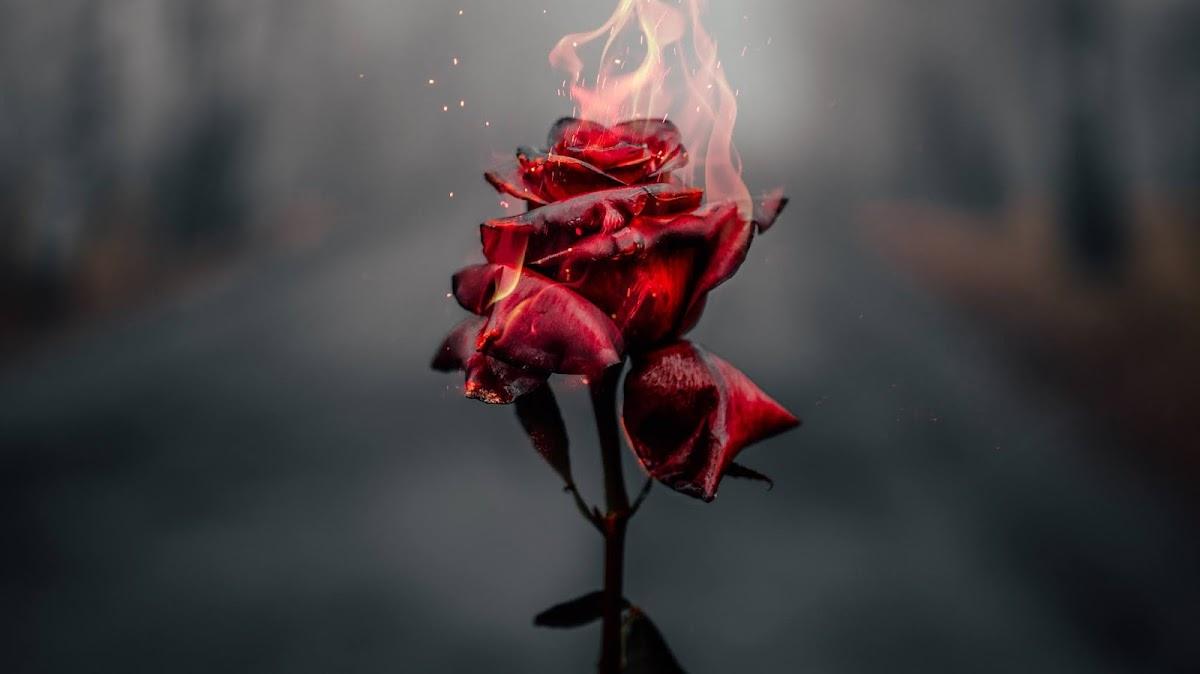 Download Wallpaper Kumpulan Gambar Bunga Mawar HD