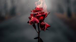 Kumpulan Gambar Bunga Mawar HD