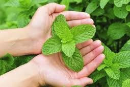 Skin Care Benefits Of Using Mint Leaves