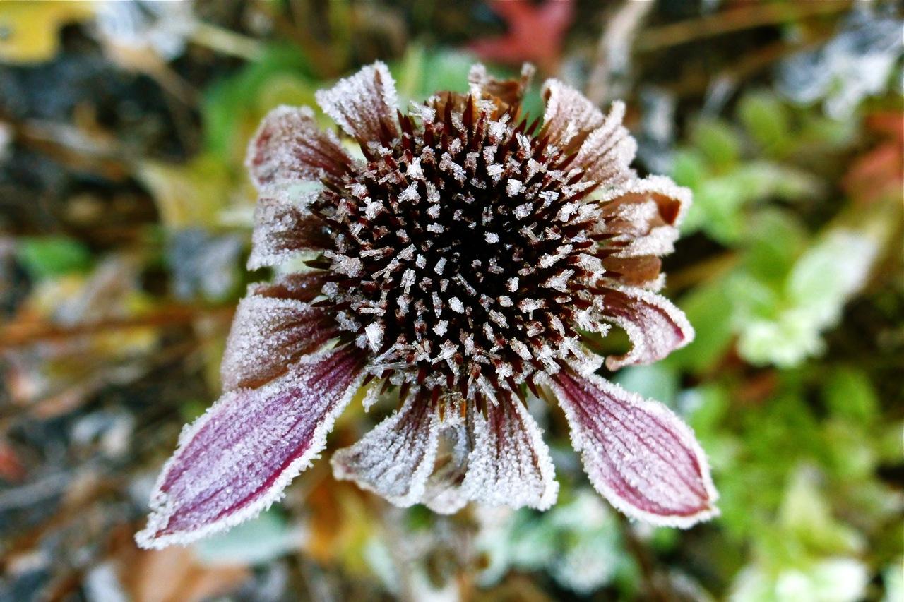 echinacea, frosty echinacea