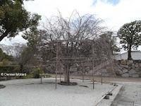 Heavily-supported tree - Shosei-en Garden, Kyoto, Japan