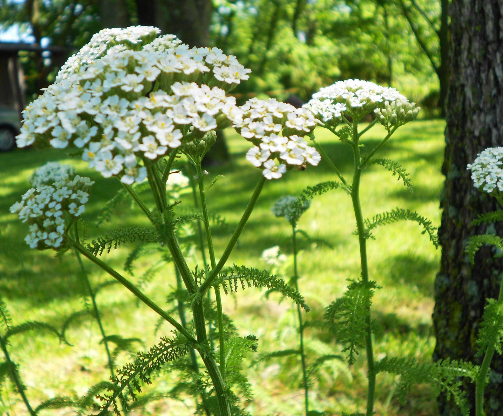yarrow flower - photo #22