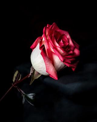 cute rose flower images
