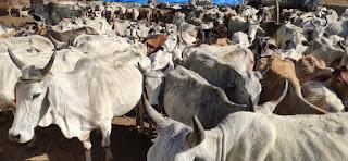 कचनारिया की गोपाल गौशाला में 600 निराश्रित गायों को मिला आश्रय