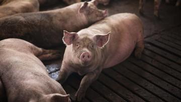 Dadih babi berbahaya