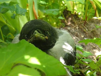 Mazury, żeglowanie po Mazurach, Jezioro Nidzkie, stanica Czaple, ptak wyrzucony z gniazda, karmienie pisklęcia, wrona