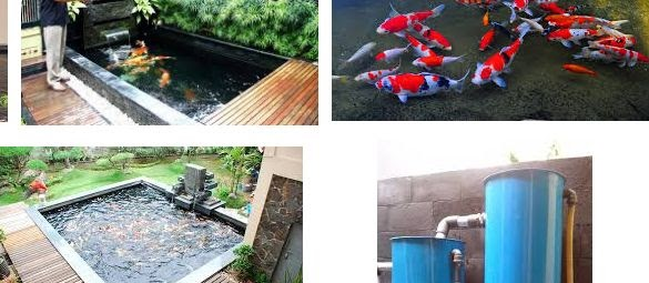 Cara Penjernihan Kolam Ikan Koi Secara Alami dan Buatan