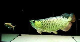 Makanan terbaik ikan arwana dari semua jenis