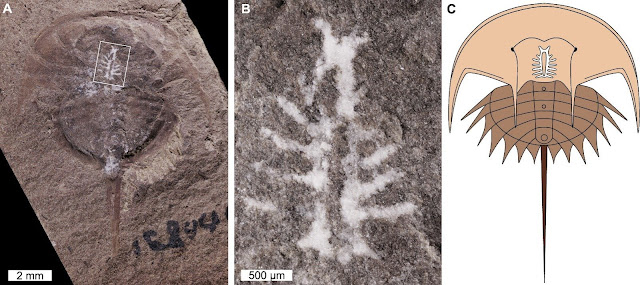 Decoding the secrets of a 310 million-year-old brain