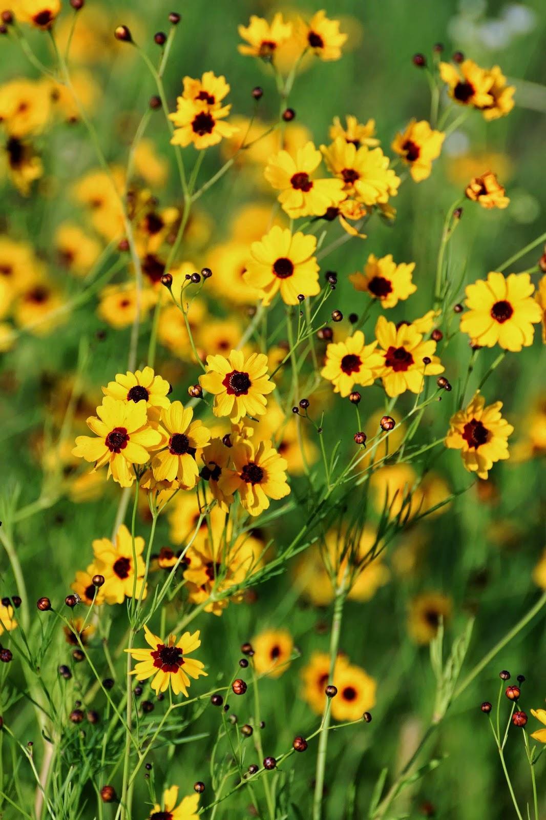 Life In Pieces: Wordless Wednesday - Oklahoma Wildflowers