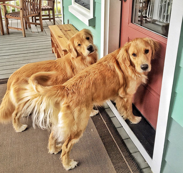 Golden Retrievers Door