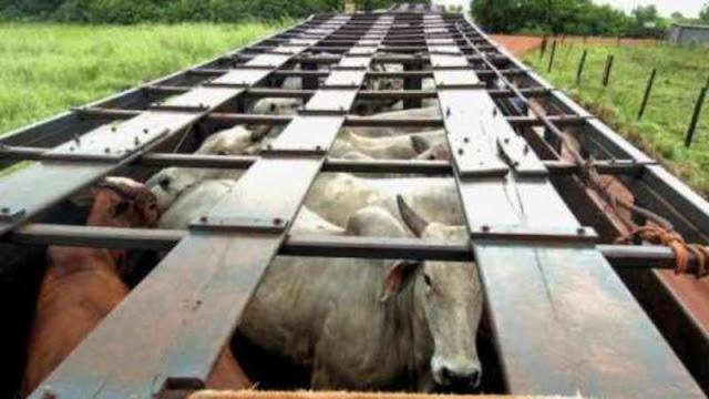 Uruguai está a um passo de importar gado vivo do Brasil
