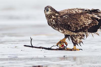 đại bàng giữ chặt con mồi bằng những móng vuốt sắc nhọn của nó