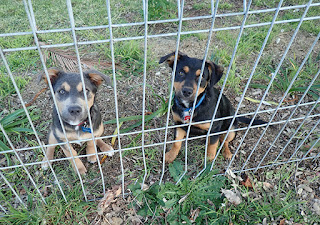 two puppies sit at a fence looking gorgeously cute