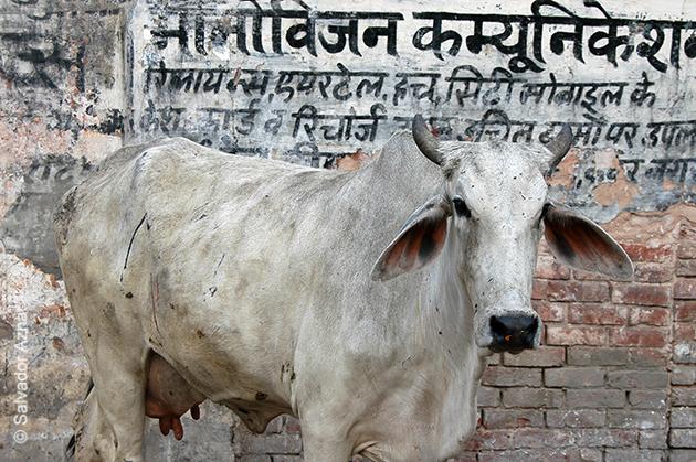 http://www.diariosdeunfotografodeviajes.com/2015/02/vacas-sagradas-de-la-india.html