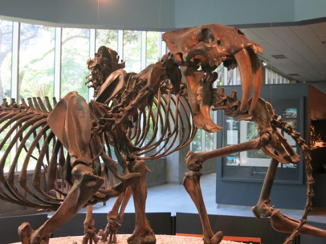 Saber-toothed cats with oral injuries ate softer foods