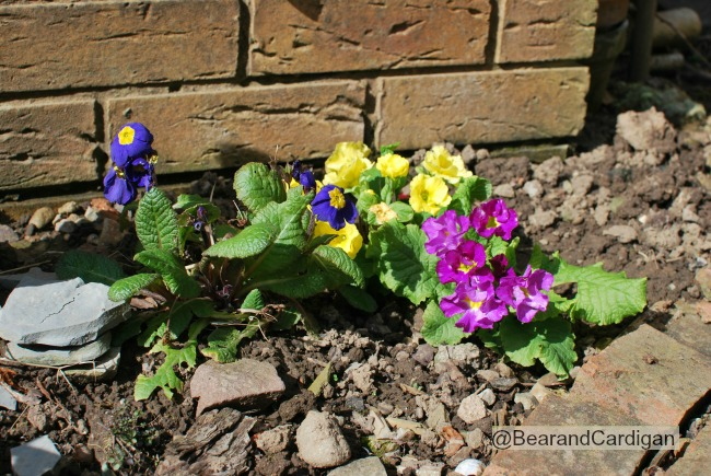 Primulas purple and yellow. pink. Yellow. against a brick wall