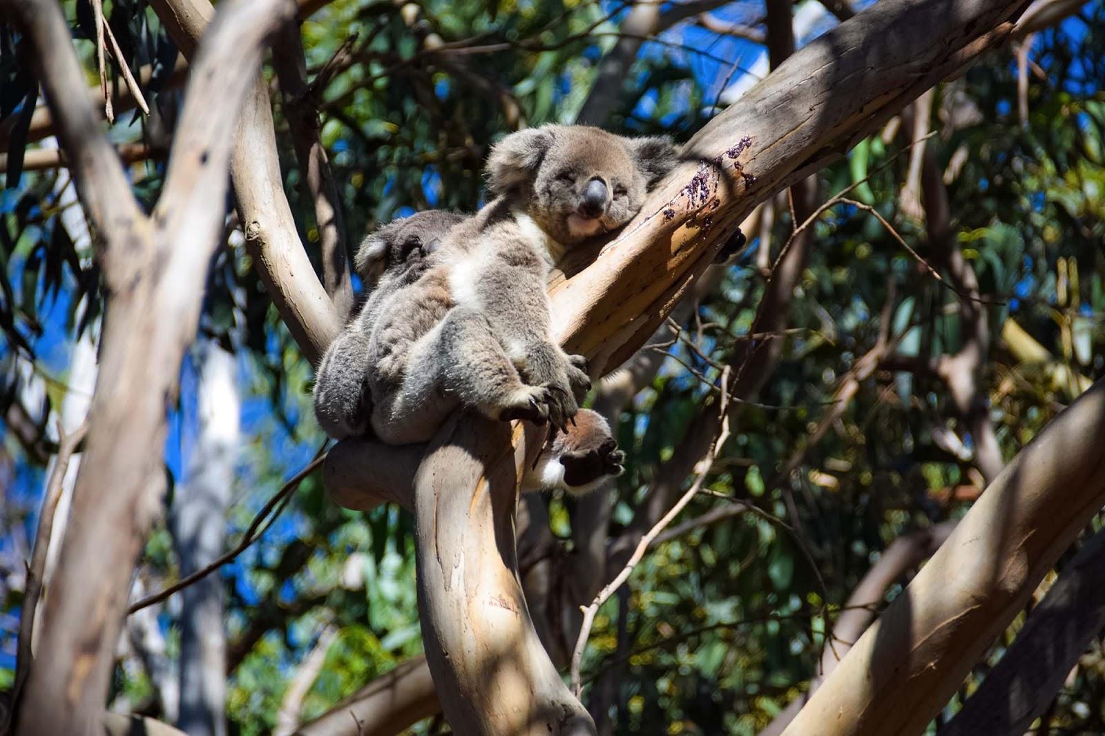 koalas at hanson bay wildlife sanctuary