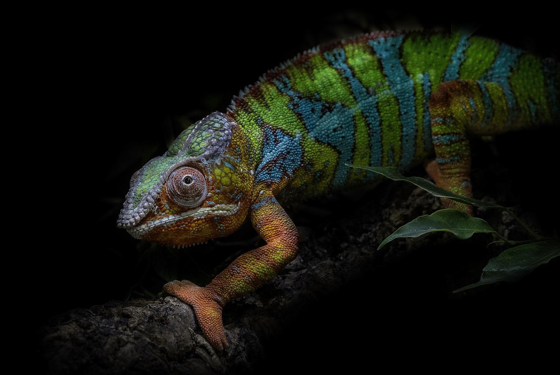 gecko wallpaper