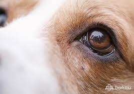 Uno de los problemas más comunes que afectan los ojos de los perros es la catarata canina.