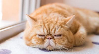 Kucing Mix Dome Persia