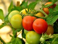 2 Langkah Cara Budidaya Tanaman Tomat Yang Benar