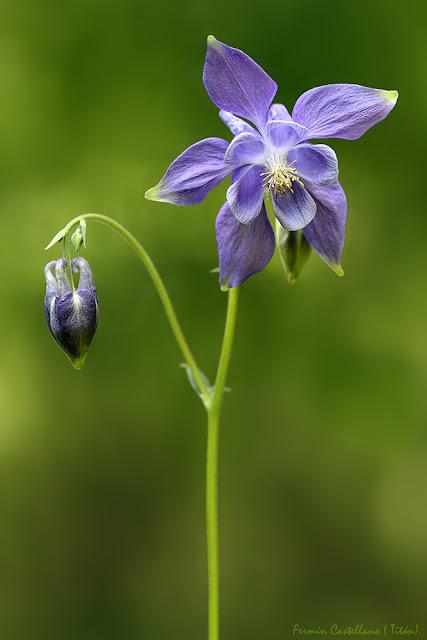 Aguileña (Aquilegia vulgaris)