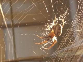 هذا العنكبوت هذا الوجه المشابه للوجه البشري