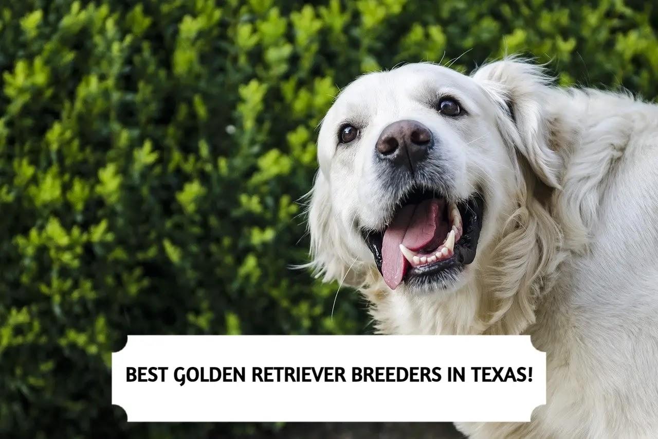 Best Golden Retriever Breeders in Texas