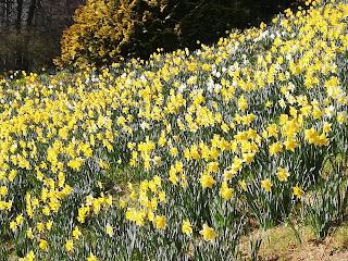 la fioritura dei narcisi in Burcina