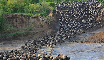 Saat Ribuan Wildebeest Melintasi Sungai Penuh Buaya Raksasa
