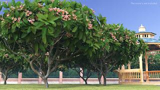 A row of Frangipani trees nest to a gazebo.