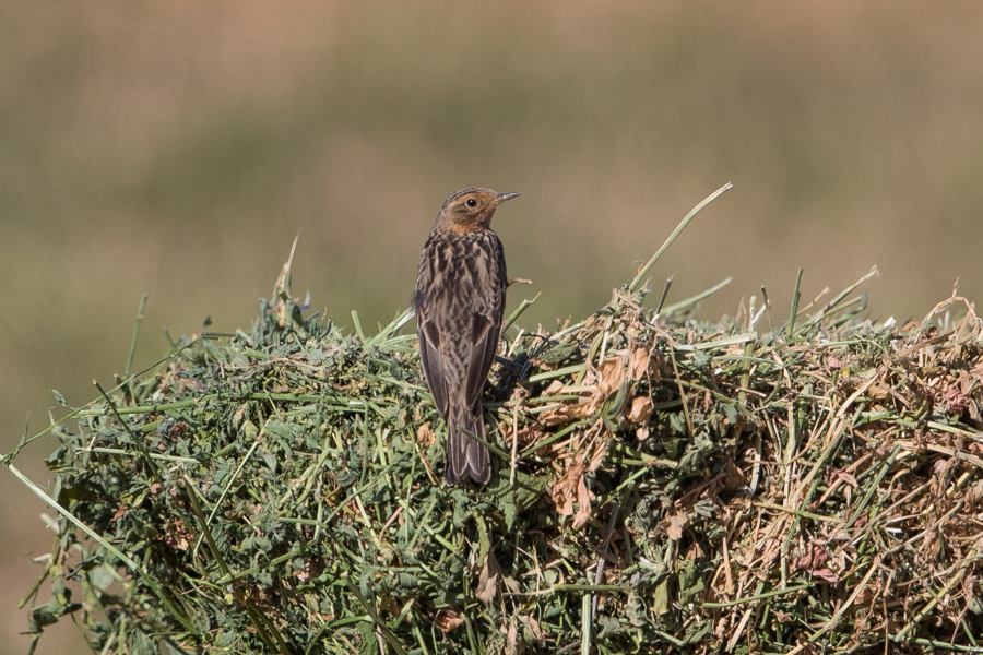 Red-throated Pipits Anthus cervinus