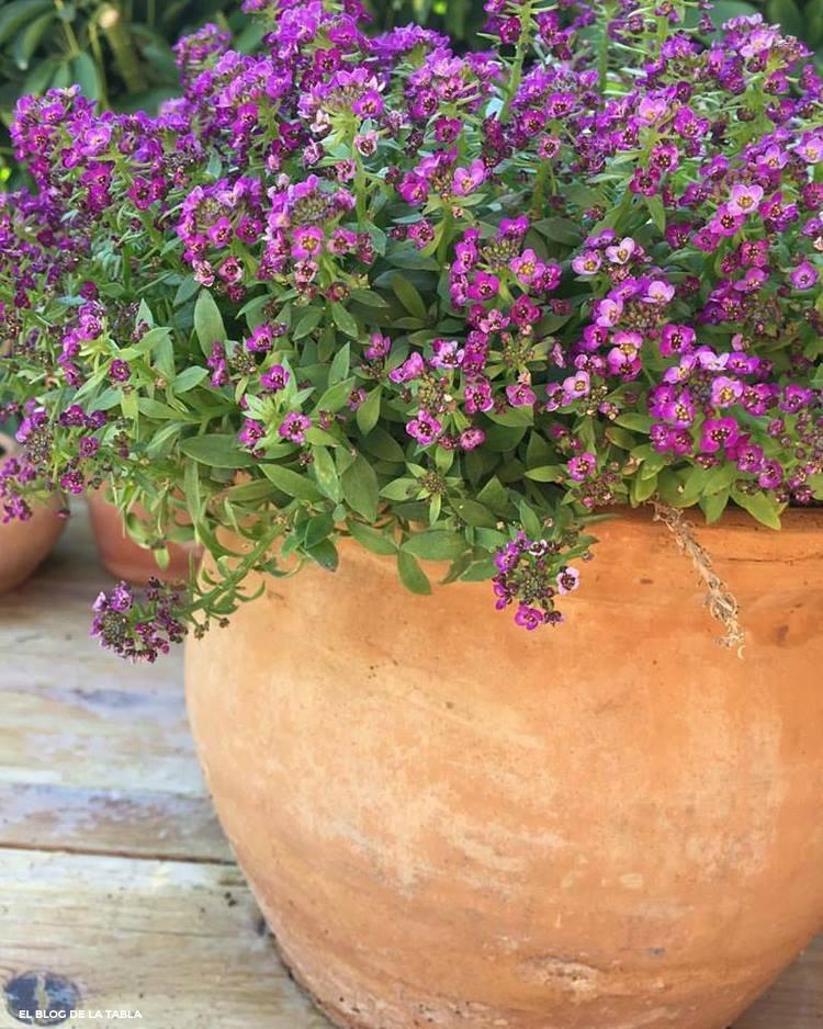 Lobularia flores púrpura y maceta de barro redonda.