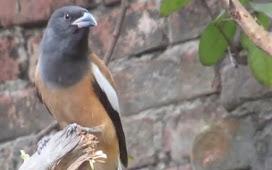[Interesting] Facts of Rufous Treepie or Harichacha bird.